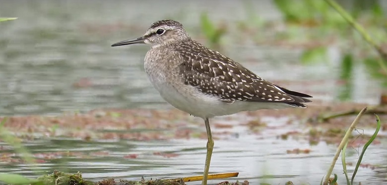 A wood sandpiper at Staines Moor