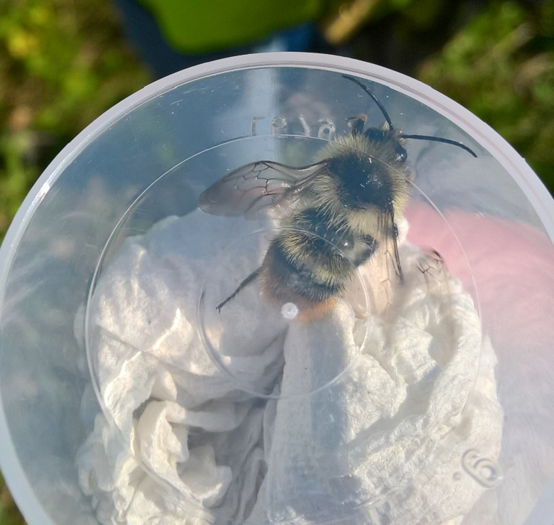 Shrill carder bee found at long reach
