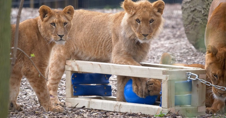 Lions playing with old Thames Water hosepipe