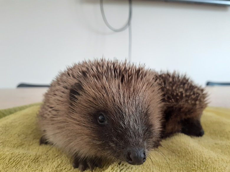 Hedgehogs rescued by Oak & Furrows Wildlife Rescue Centre