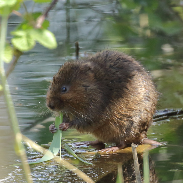 A water vole eating