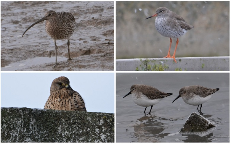 Some of the birds photographed at Beckton STW