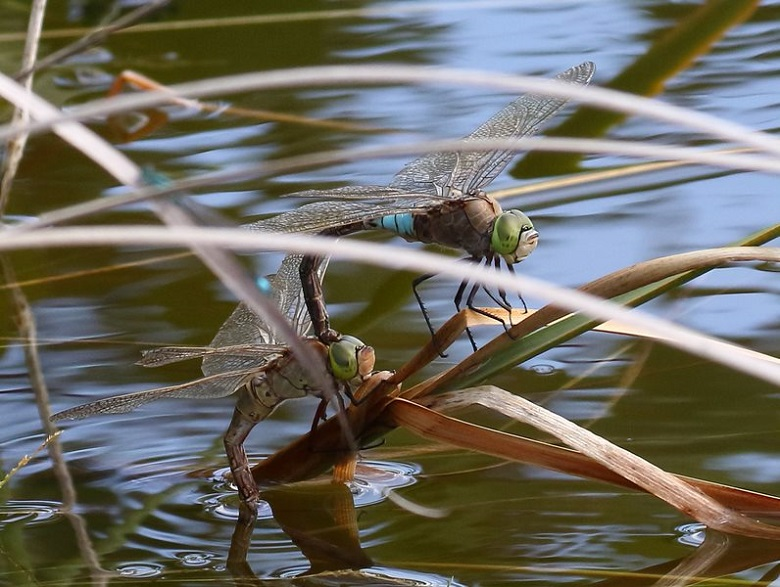 Two lesser emperor dragonflies located above a pond