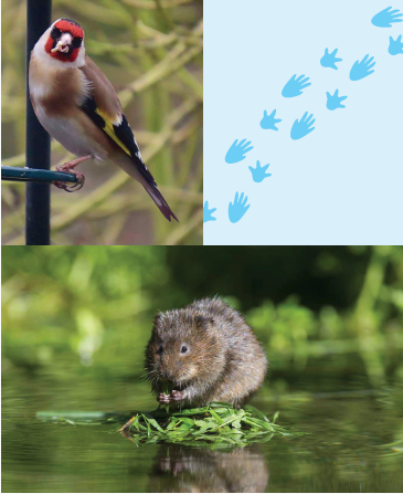 A montage of a bird with red feathers on its head, a scene of a pond, and a water vole.