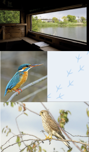 The view from a bird hide, a bird with blue and yellow feathers, a scene of the lake, and a bird sitting in a bush.