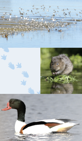 A montage showing a group of birds on a lak, a view of the lake, a water vole, and a duck on the water.